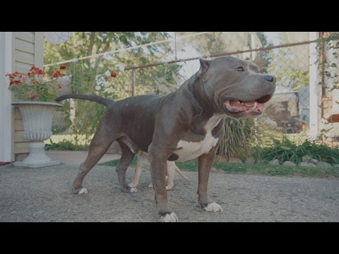 'Dog Aggressive' Pit Bull meets Tiny Puppy