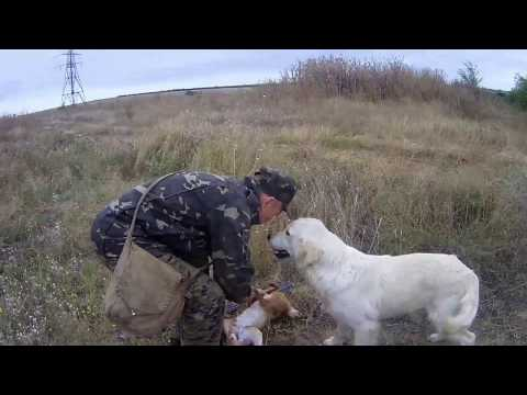 Trained Hunting Dogs For Sale
