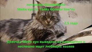 Мейн куны, котята, GrandeGatto.ru