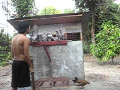 RACING PIGEON PHILIPPINES  idsign loft  Ivan Derriick