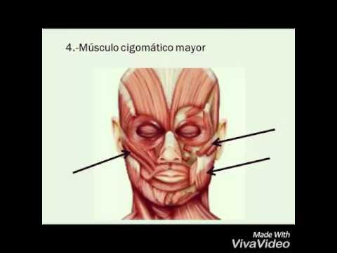 musculos cigomatico menor y mayor - YouTube