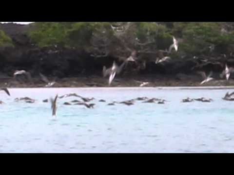 Galapagos Islands - Blue Footed Boobies feeding on a school of fish