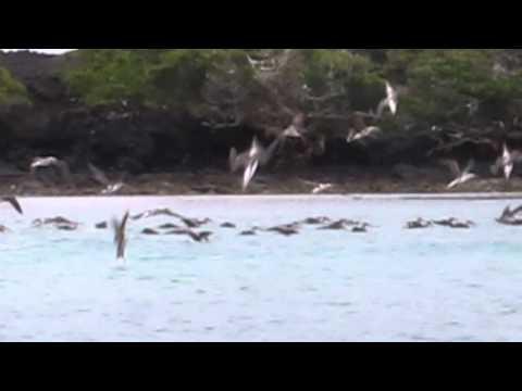 Galapagos Islands - Blue Footed Boobies feeding on a school of fish