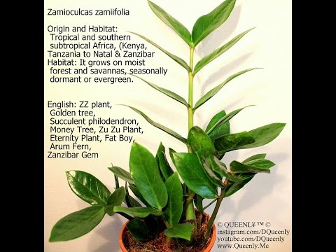 Zz Plant Propagation Water