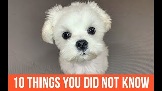 10 THINGS YOU DID NOT KNOW ABOUT MALTESE DOGS