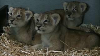 Update Aziatische leeuwenwelpjes Diergaarde Blijdorp - Update Asian lion cubs Rotterdam Zoo