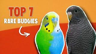 7 Rare Budgie Mutations