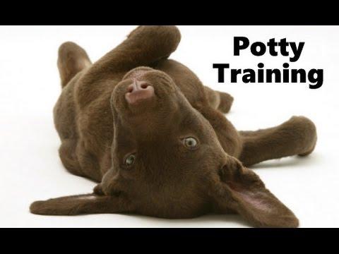 How To Potty Train A Chesapeake Bay Retriever Puppy - Training Chesapeake Bay Retriever Puppies