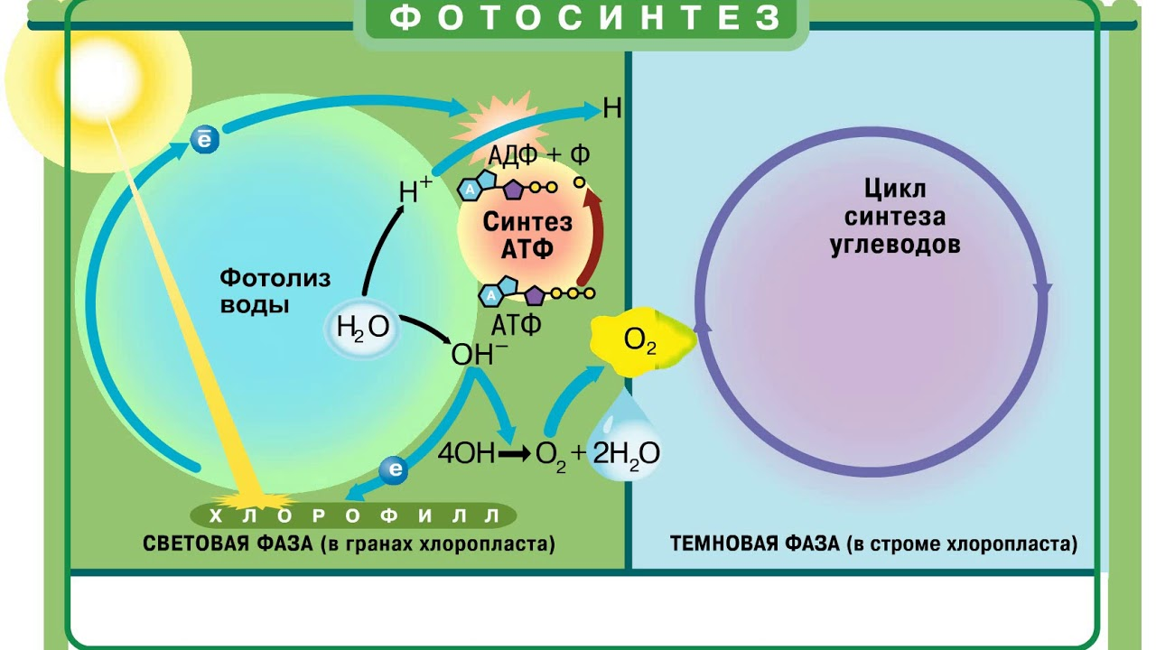 есть ли связь между фазами фотосинтеза смогут