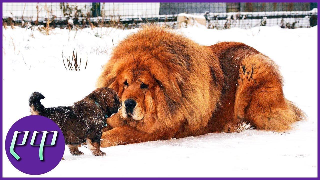 ყველაზე ძვირი შინაური ცხოველები ★ ტოპ ფაქტები ★