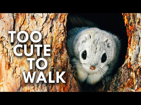 Flying Squirrels and The Animals that Fall With Style
