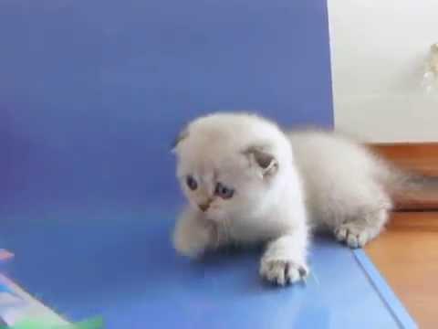 Шотландские котята из питомника INDIGO - это КОШКИ НОВОГО ПОКОЛЕНИЯ!!!
