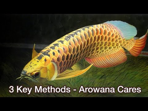 Top 3 Key Methods Of Enhancing Arowana Fish Color | Arowana Fish Care - How To Keep Arowana Fish?