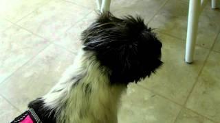 Molly: Service Dog Vest