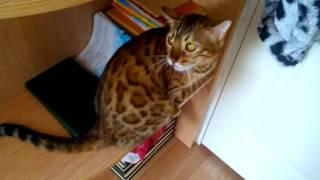 Мяуканье кошек