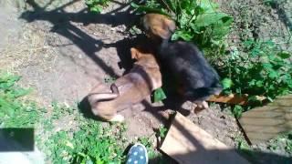 Мои собаки Рекс и Лада