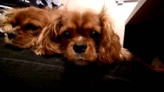 Two Dogs Ruby Cavalier King Charles Spaniels On My Lap