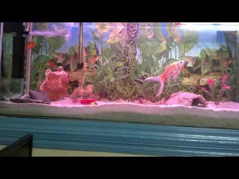 How To Care Aquarium Pet Fish | Fresh Water Tank Maintenance (Urdu/Hindi)