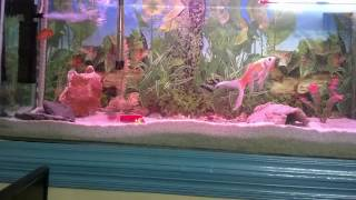 how to care aquarium pet fish   fresh water tank maintenance urdu hindi