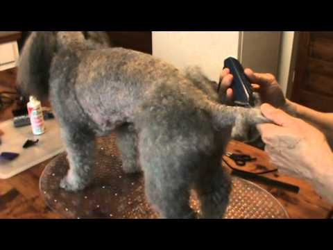 Trimming Peppy, Miniature Poodle