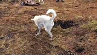 видео: Умная собака помогает ловить щуку на р.Чона