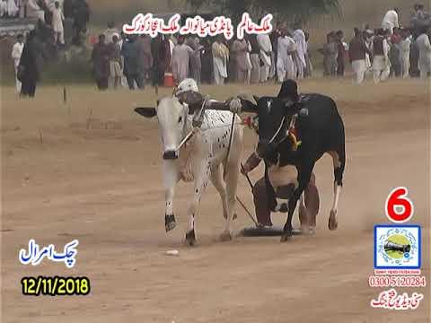 Bul Race In Pakistan Sunny Video Fateh Jang   12 11 2018 NO6