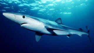 Дикая природа Азорские острова Синие акулы NEW KSM