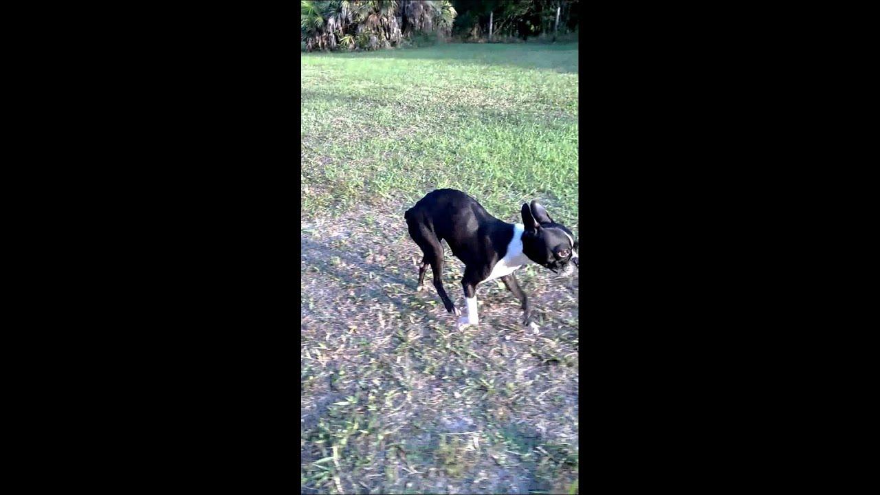 Bella Boston Terrier Rescue Of Florida Youtube