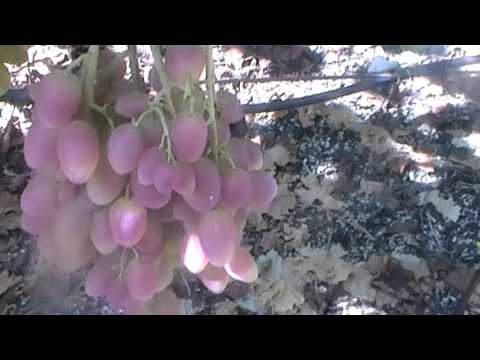 Фавор столовая форма винограда
