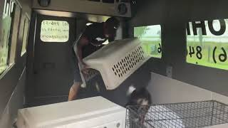 Border Collie Does Protection Work