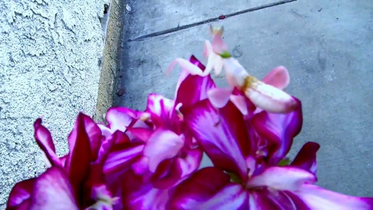 Pink orchid mantis hymenopus coronatus youtube pink orchid mantis hymenopus coronatus dhlflorist Image collections