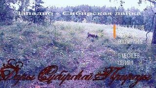 Западно-сибирская охотничья лайка. Воспитание, содержание, обучение. 1 Серия. 5 Месяцев.