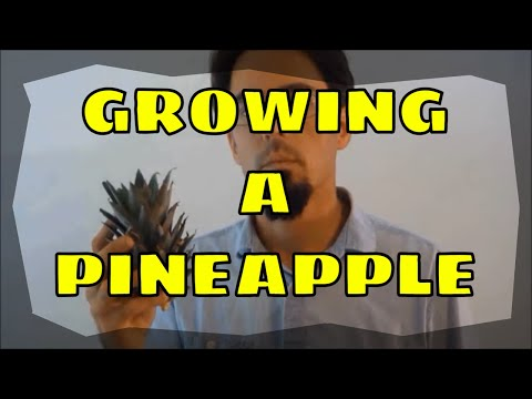 How-To-Grow-A-Pineapple-Plant-And-Get-FRUIT