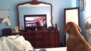 Dogue De Bordeaux Puppy Barking At Hooch