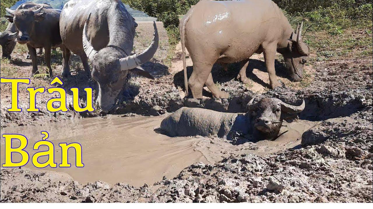 Buffalo Breed   TRÂU BẢN    ĐI TÌM TRÂU 🐂🐂🐂