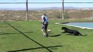 Черная пантера- большая кошка
