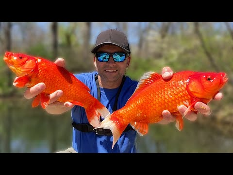 How To Catch Wild Goldfish.  Where To Get Muskie Bait