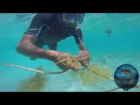 Seaweed Cultivation in Belize