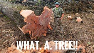 "Husqvarna 572xp 36"" bar cutting a very large oak"