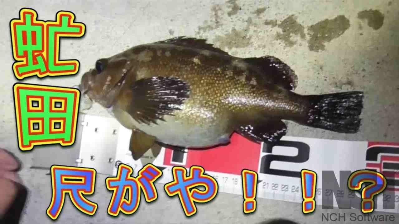【ナイトロック】虻田大磯漁港で尺ガヤ!!?