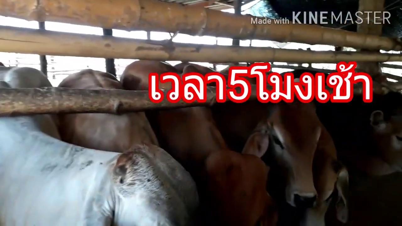 อัปเดทวิธีเลี้ยงวัวขุนให้มีกำไรดี