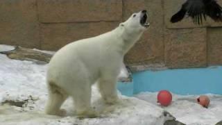 円山動物園のホッキョクグマ ピリカ(メス/4歳)。 カラスを追いかけてい...