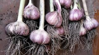 И в саду, и в огороде - 23.09.19 Посадка чеснока под зиму: советы садоводам