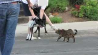 Bengals Walking Video - Leash Trained Bengal Cats Walking Together