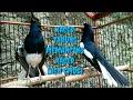 Masteran Kacer Gacor Dongkrak Emosi Kacer Drob Bahan Pasti Gacor  Mp3 - Mp4 Download