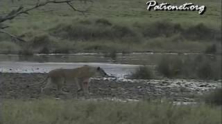 仲間からはぐれたシマウマ 忍び足で獲物に近づくメスライオン。 チータ...
