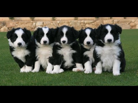 Border Collie Puppies Dogs For Sale In Atlanta