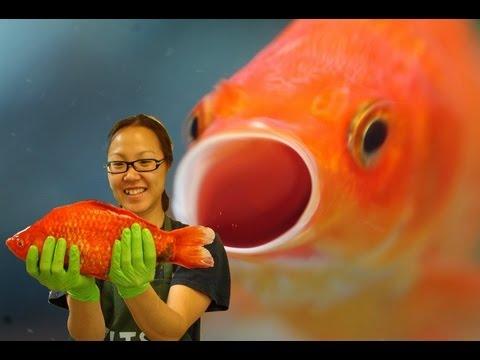 Monster Goldfish Invade Lake Tahoe
