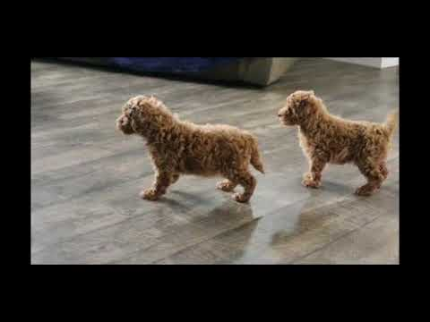 Miniature Poodle Puppies For Sale