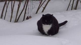 Кошка Фуня идет по глубокому снегу.